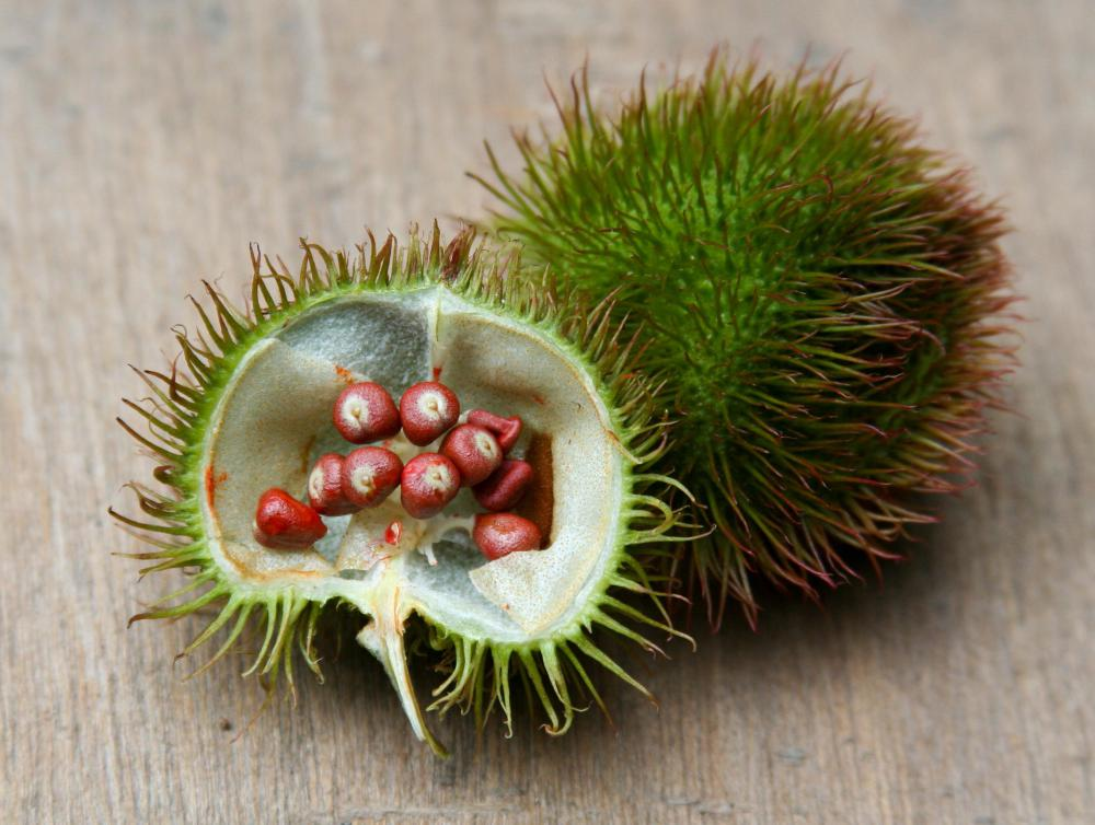 Fruit from an achiote tree, which a botanist might study.