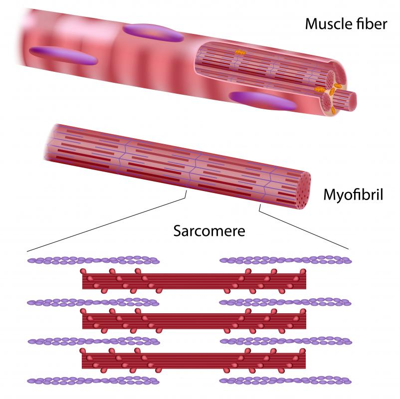What Is A Muscle Cell With Pictures
