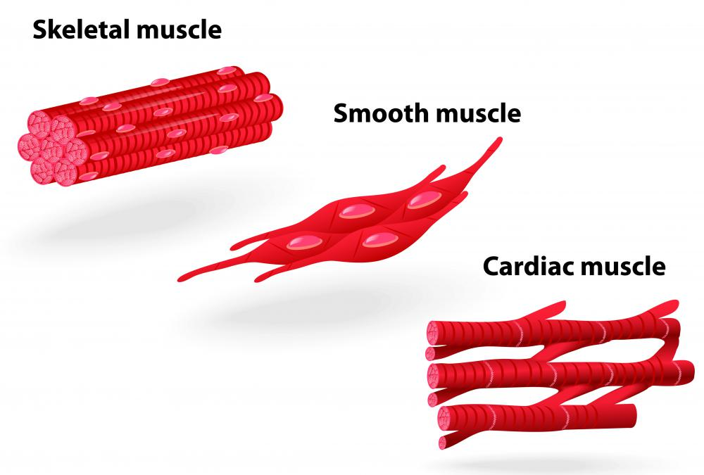 The work of smooth and cardiac muscles is involuntary.