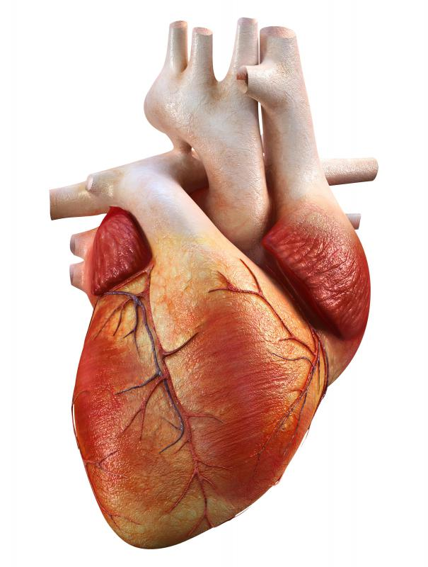 The aorta is connected to the left ventricle of the heart.