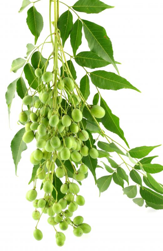 The oil or leaves of neem trees can be very beneficial in treating acne.