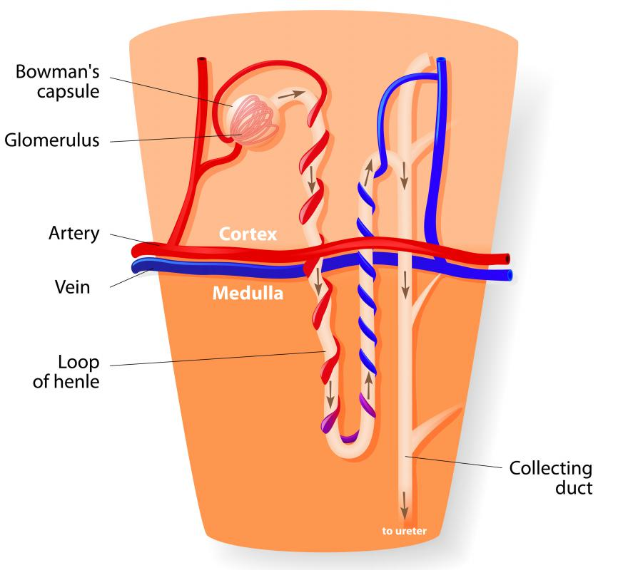 What Is The Renal Medulla With Pictures
