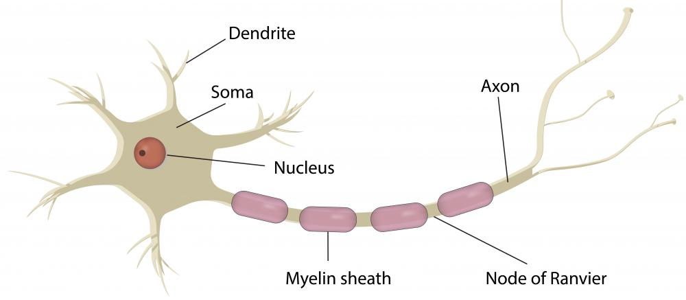 Each nerve cell contains a soma, a single axon and any number of dendrites.