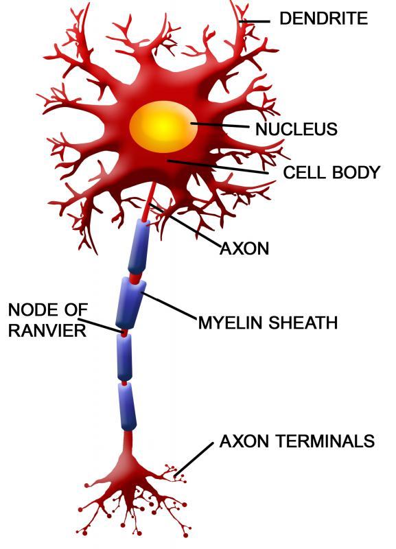 Most spinal cord nerves are covered with a myelin sheath.