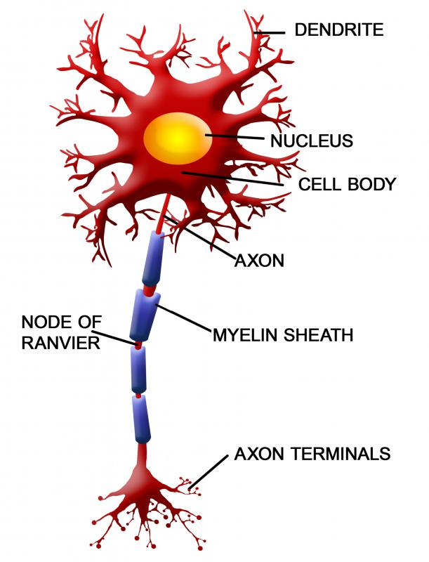 Nerve fibers, or axons, are the main lines connecting the entire central nervous system.