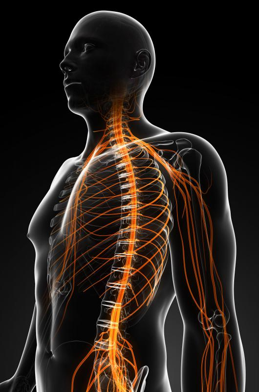 Spinal nerves are located along the spinal column.