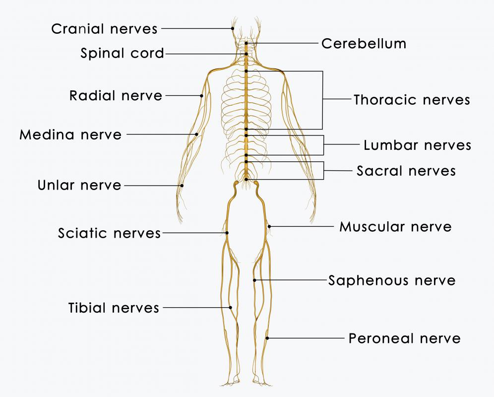 The radial nerve is found in the arm and helps to control muscle movement.