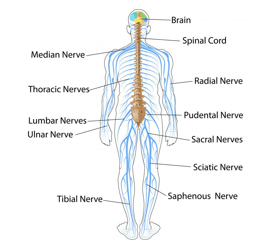 The central nervous system, which consists of the brain and spinal cord, receives and transmits signals to the nerves in the peripheral nervous system, which is composed of the nerves in the organs and muscles of the body.