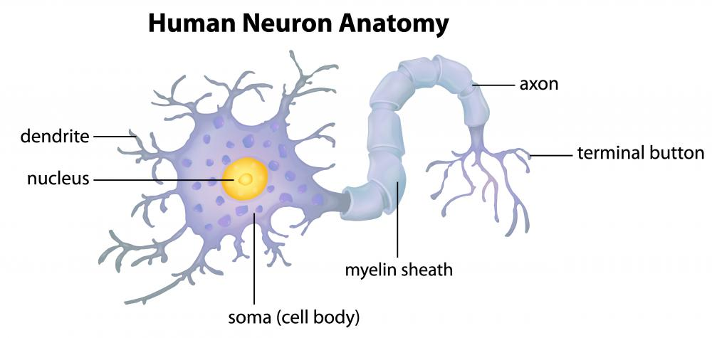 Gray matter contains the nerve cells' bodies and branched sections called the dendrites.