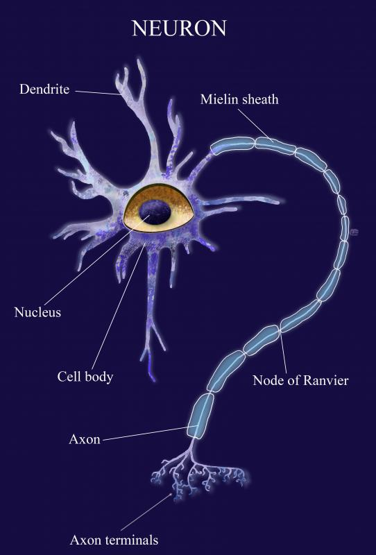 Peripheral axons can be up to 3 feet long.