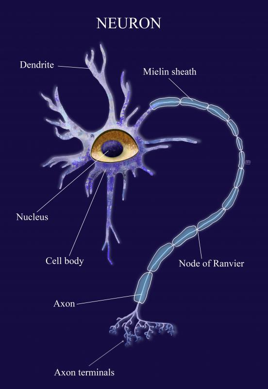 The axons of neurons meet muscle cells at the neuromuscular junction.