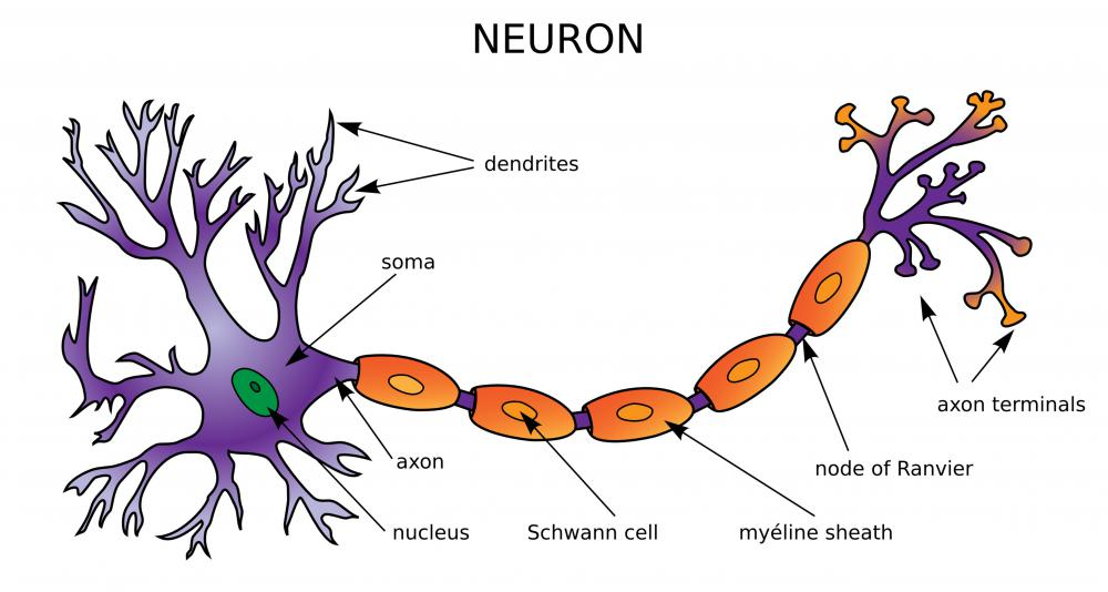 Neurons send and receive chemical signals between various parts of the body.