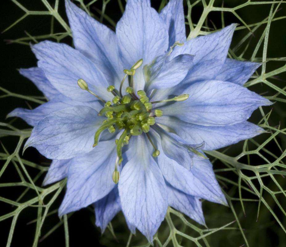 Nigella Flowers Are One Type Of Blue Flower
