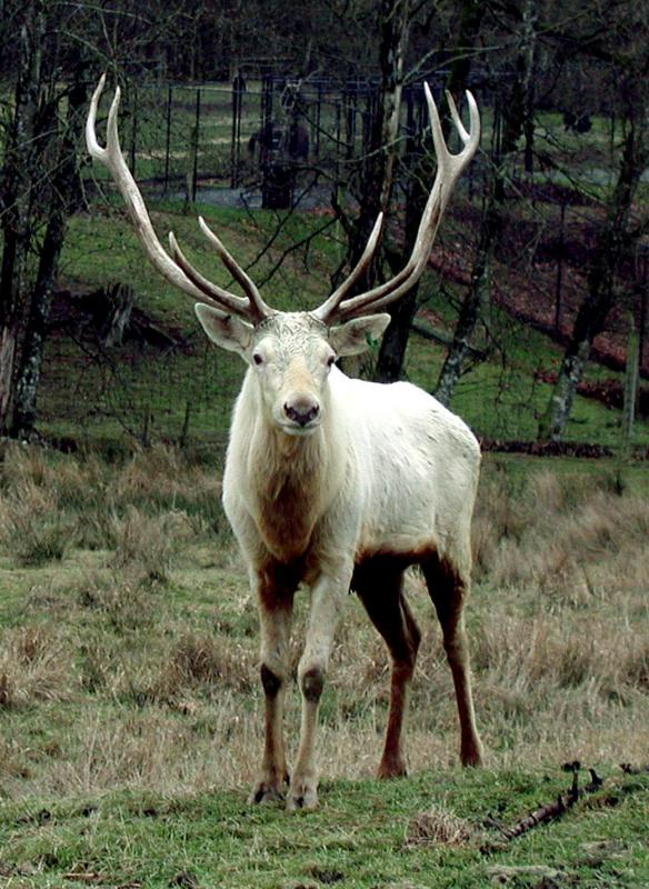 "As a male deer ages, he grows more points on his antlers, or ""rack""."