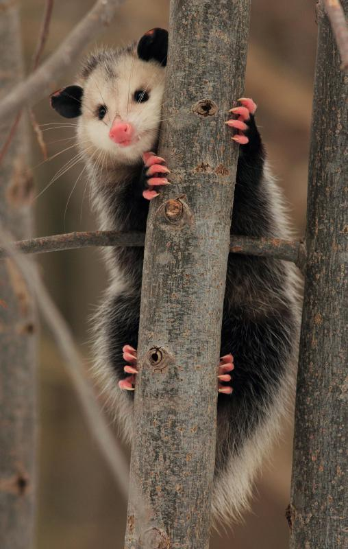 "Opossums can adapt to predators by playing dead, which is where the phrase ""playing possum"" comes from."