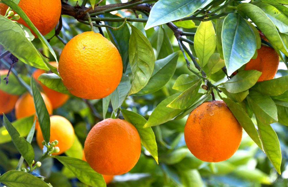 The oranges from a dwarf tree are typically the same size as the oranges from a standard-size tree.