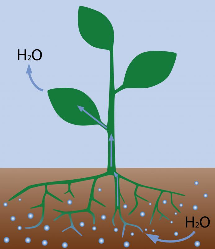 A plant absorbing water, which is part of the water cycle.