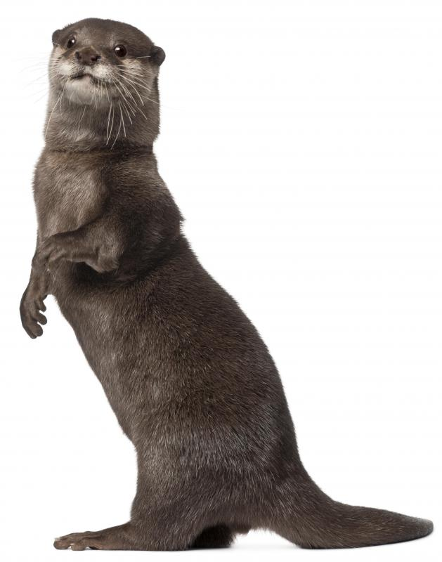 Otters are sometimes used to make fur coats.