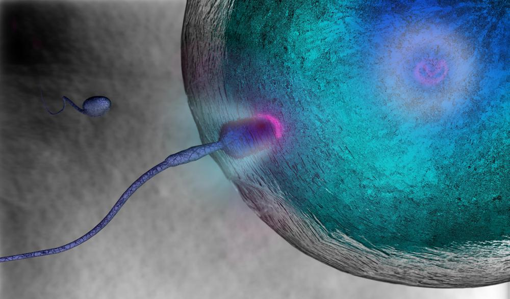 During in vitro fertilization, sperm and embryo are joined in a laboratory setting.