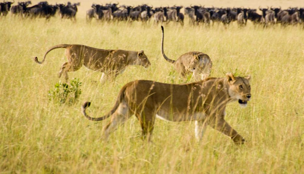 The lionesses of a pride will hunt together, looking for weak or resting animals.