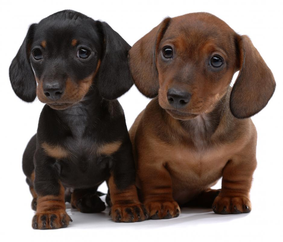 Pair of smooth-haired Dachshund puppies.