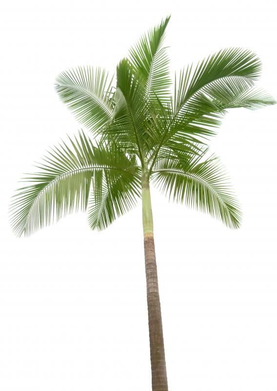 A palm tree, which produces palm oil.