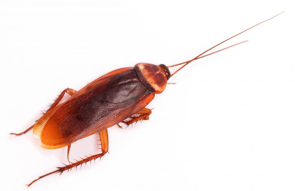 An American cockroach, which is sometimes called a palmetto bug.