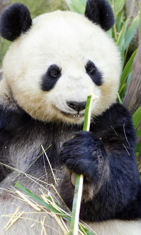 Pandas and bamboo are popular Oriental motif themes for home decor.