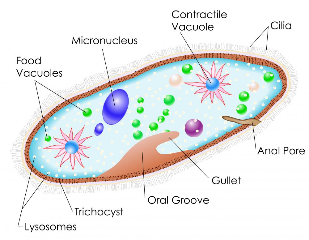 Although single-celled, paramecia can perform a variety of functions.
