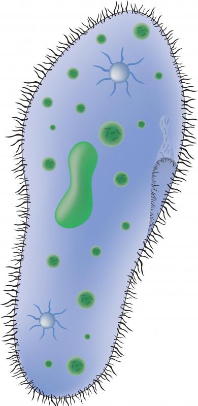 A ciliated Paramecium cell.