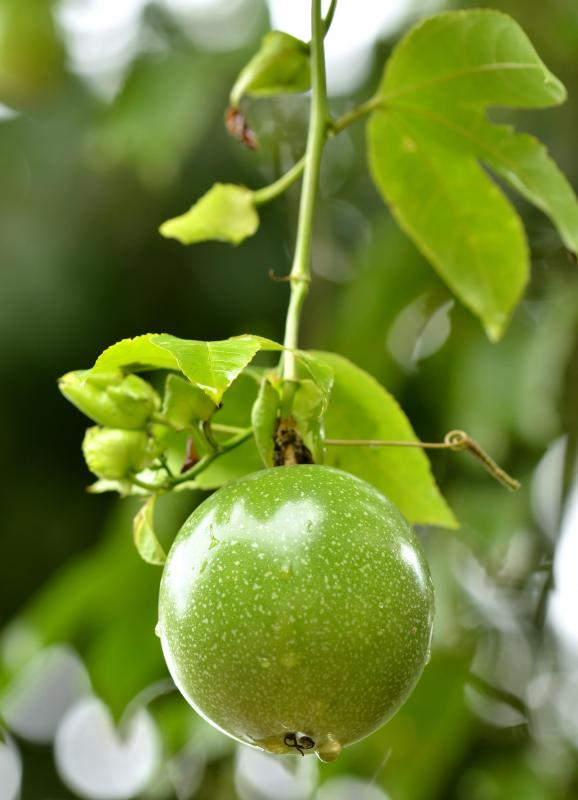 Passion fruit growing on the tree.