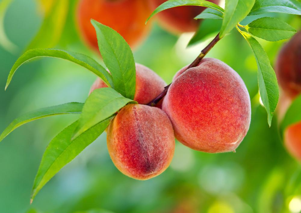 Peaches hanging from a peach tree.