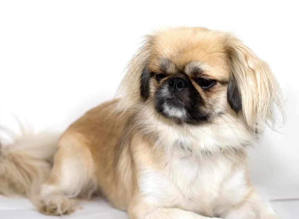 Pekingese dogs are known for their broad heads and flat noses.