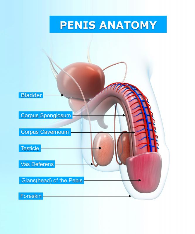 What Is The Anatomy Of The Penis With Pictures