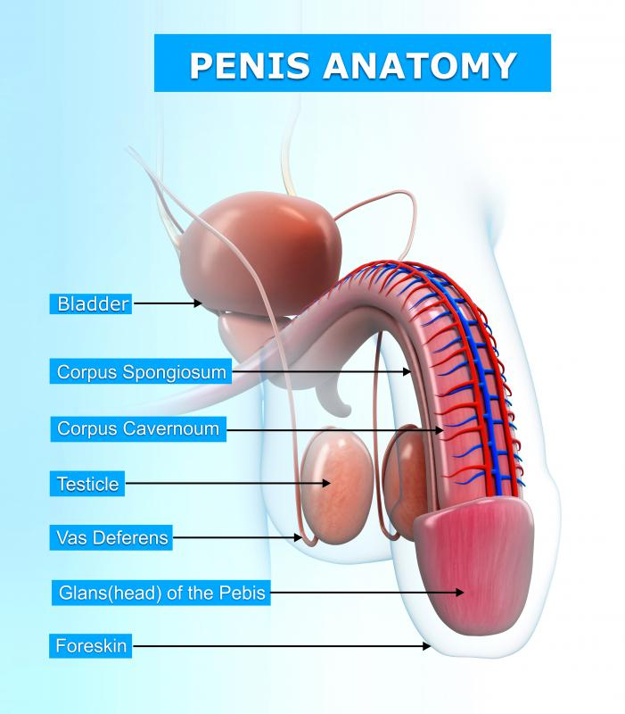 images.wisegeek.com/penis-anatomy-diagram.jpg