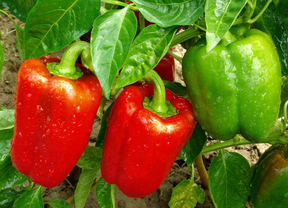 Peppers may be watered using sub-irrigation methods.