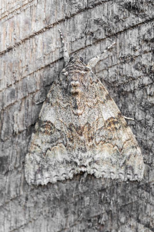 Populations of light-colored peppered moths dwindled due to selection pressure.