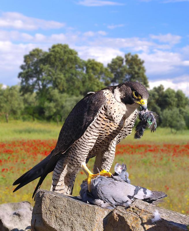 Most places have laws that regulate the activities of falconers and that protect falcons.