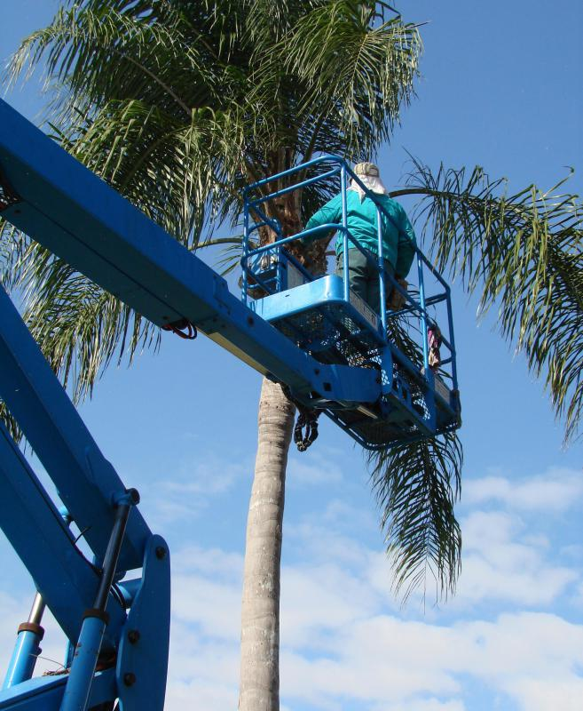 Tall trees often require a worker in a bucket truck to remove the tree in sections.