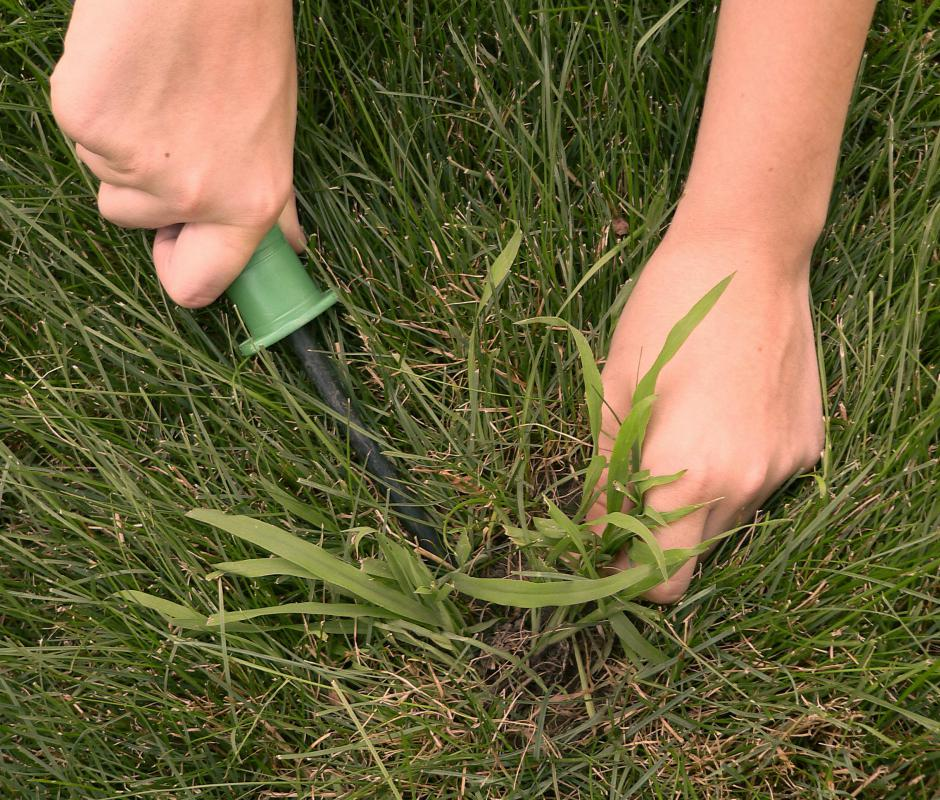 Crabgrass can overtake nearby plants species very quickly if left to grow.