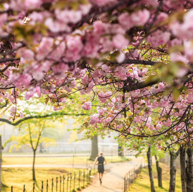 The natural beauty of cherry trees are celebrated during a cherry blossom festival.