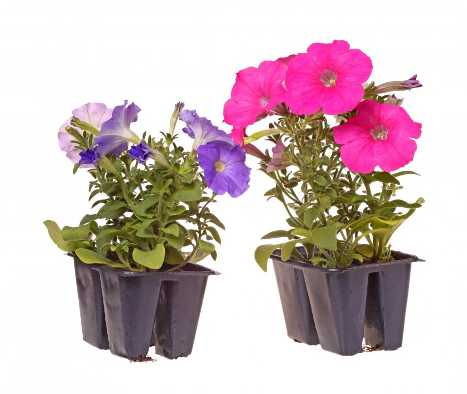 Community gardens may include flowers, such as petunias.