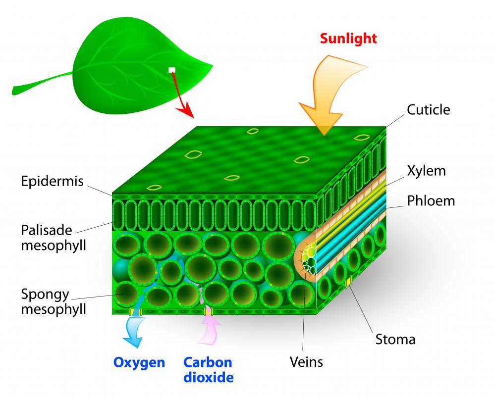 what is chlorophyll? (with pictures), Skeleton