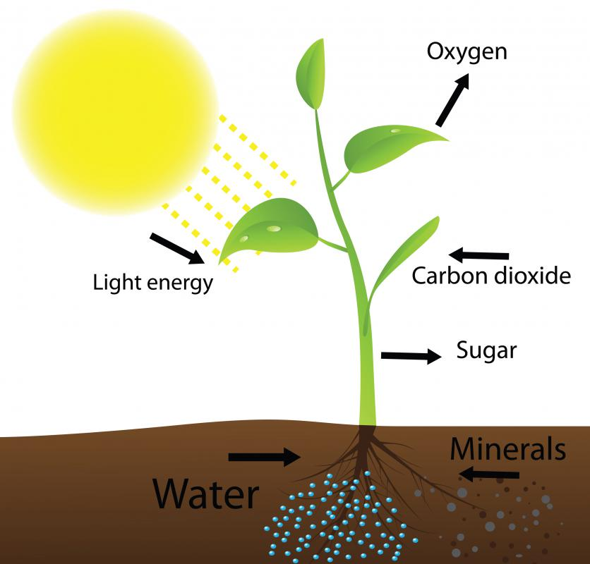 source of energy for photsynthesis For over three billion years, nature has been using sunlight as its primary energy source in photosynthesis in the course of this process, plants, algae and cyanobacteria (blue-green algae) use sunlight to split water and produce energy- rich chemical compounds from carbon dioxide (co2) the end product.