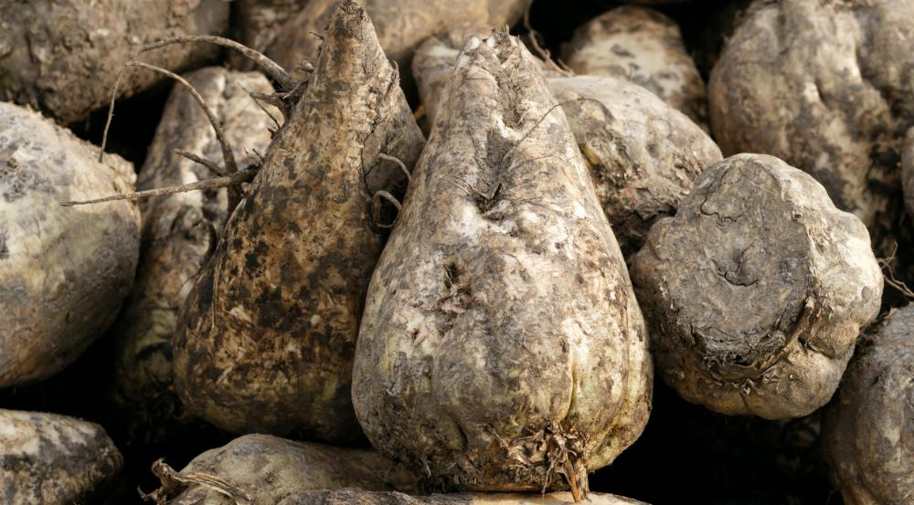 Fresh sugar beets are whitish roots that look slightly similar to turnips.