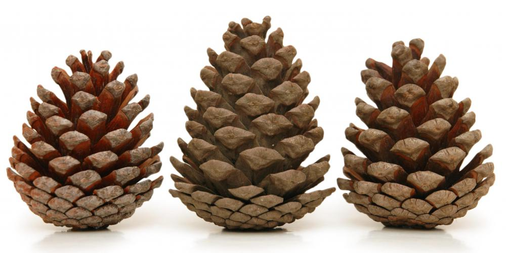 Pine cones are sometimes used to make mulch.