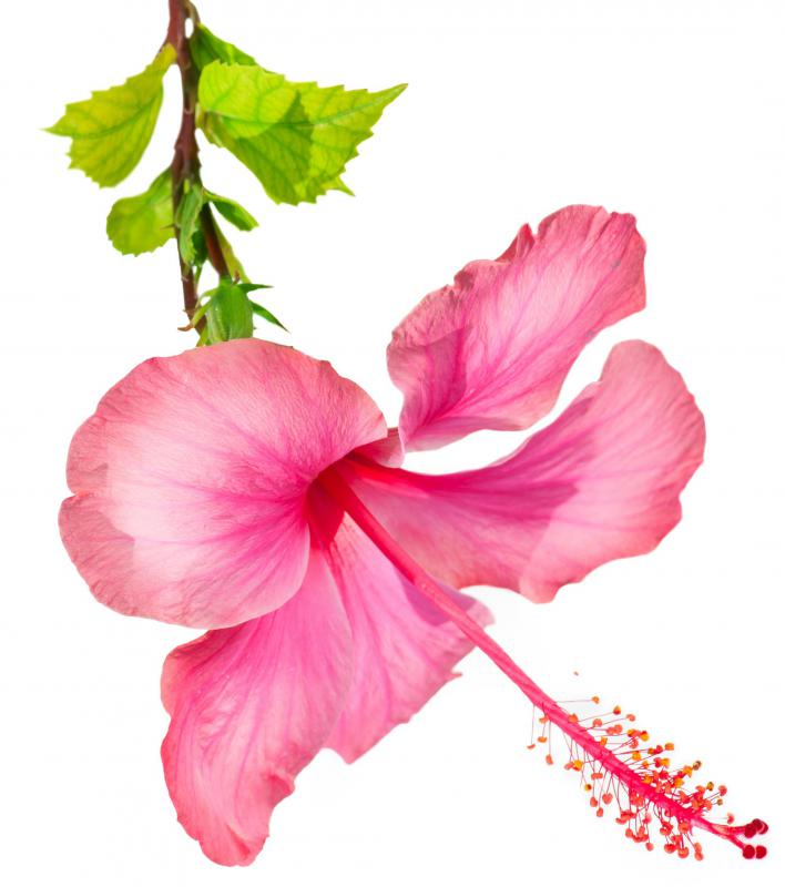 Hibiscus flowers are commonly enjoyed in teas.