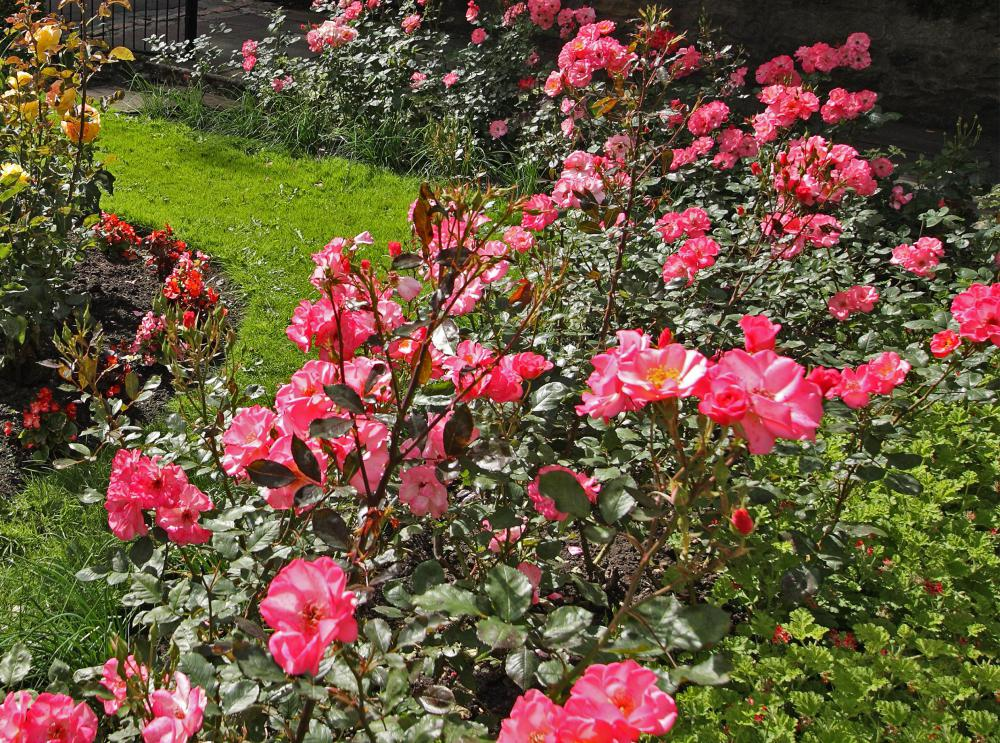 Well-fed roses can outlast an aphid infestation.