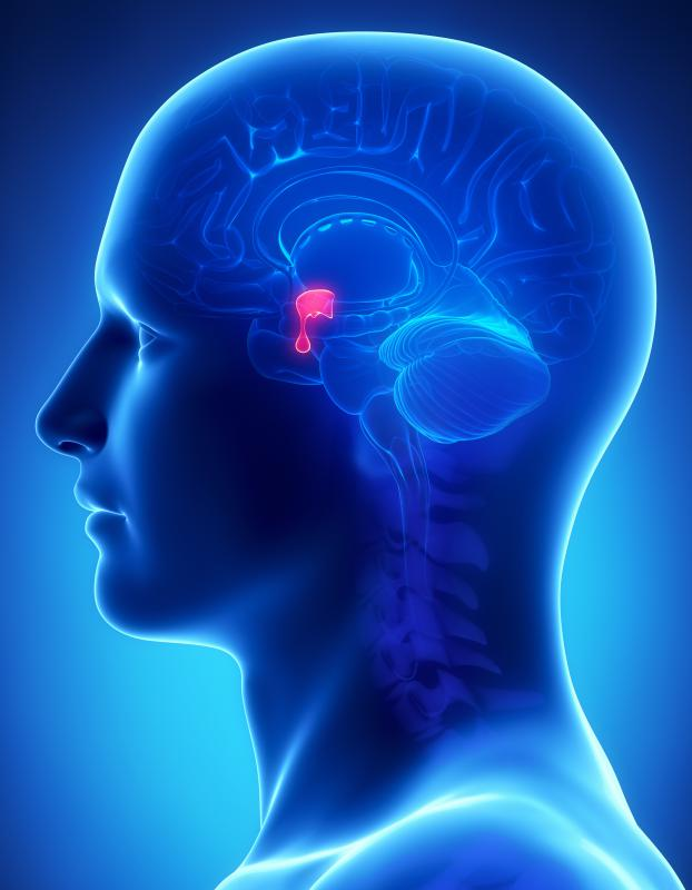 The pituitary gland, located at the base of the brain, is an important part of the endocrine system.