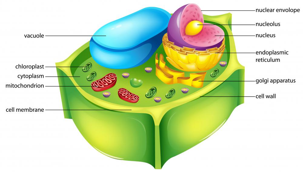 Cellulose is the main component of plant cell walls.